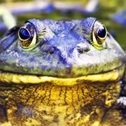 La rana toro es un fuerte depredador de insectos y vertebrados pequeños. Foto Karen Bacon