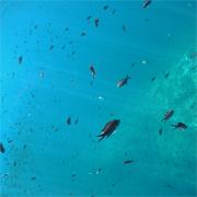 El pescado es la principal fuente de proteínas<br> para el 17 por ciento de la población