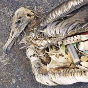 Foto: Ave marina muerta por ingesta de plásticos