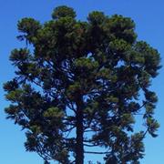 Araucaria brasileña (Araucaria angustifolia)