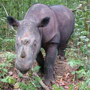 Rinoceronte de Sumatra./@Save<br> the Rhino International