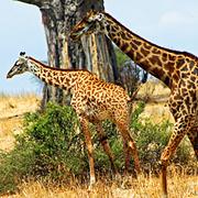 jirafa Masai (Giraffa tippelskirchi)