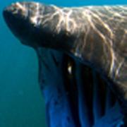 El tiburón tigre forma parte de la lista desde el año 2011