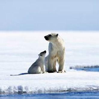 Oso ártico./ @Planeta azul
