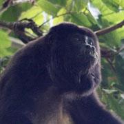 El mono aullador (Alouatta palliata mexicana), está en <br> peligro de extinción en México. Foto: Eric Ameca y Juárez.