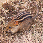Ratón rayado africano